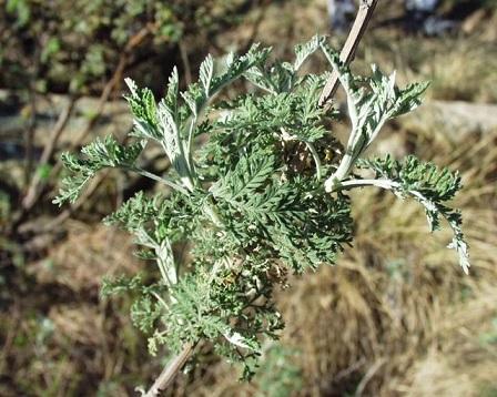Artemisia_afra_07102003_Afrique_du_sud_3