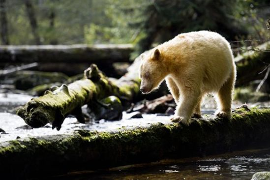 A Kermode bear in British Columbia. (Photo: Stephen Harrington/Getty Images)