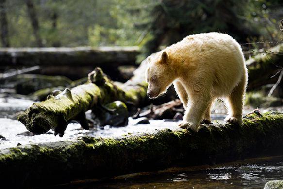 A Kermode bear in British Columbia. (Photo: Stephen Harrington/Getty Images)